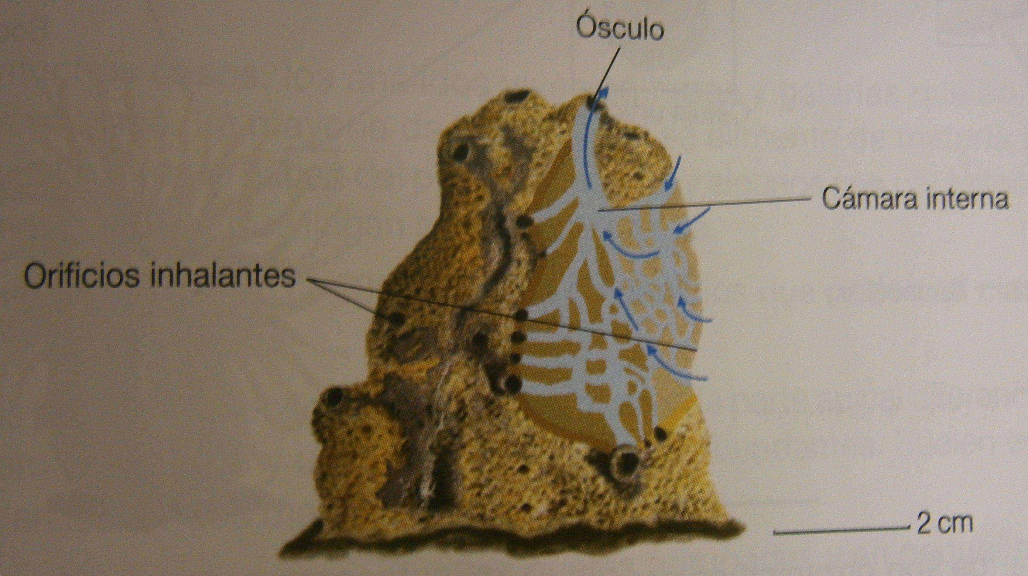 Los Poríferos son un grupo de invertebrados de vida acuática. Los ...