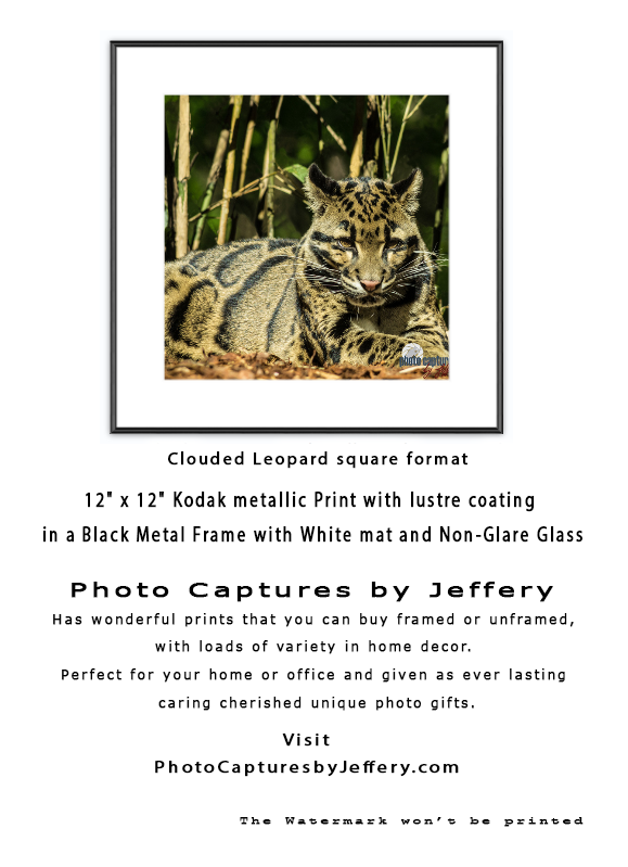 Big Cats | Gift Guide for all Occasions | Clouded leopard