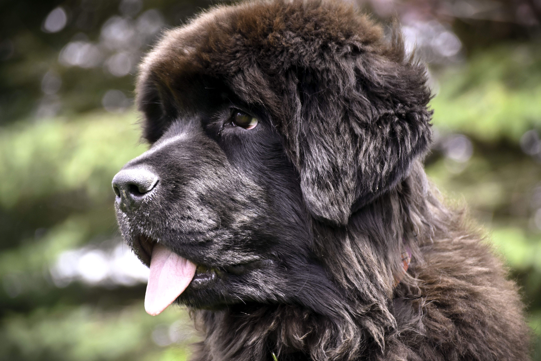 Картинки собака ньюфаундленд