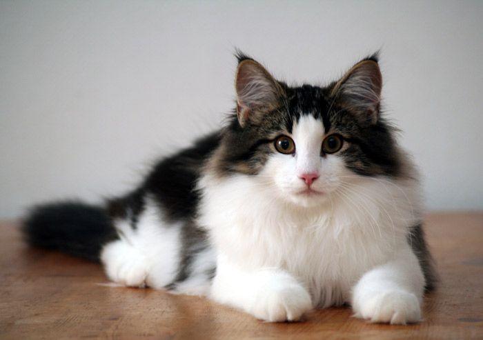 Norwegian forest cat health