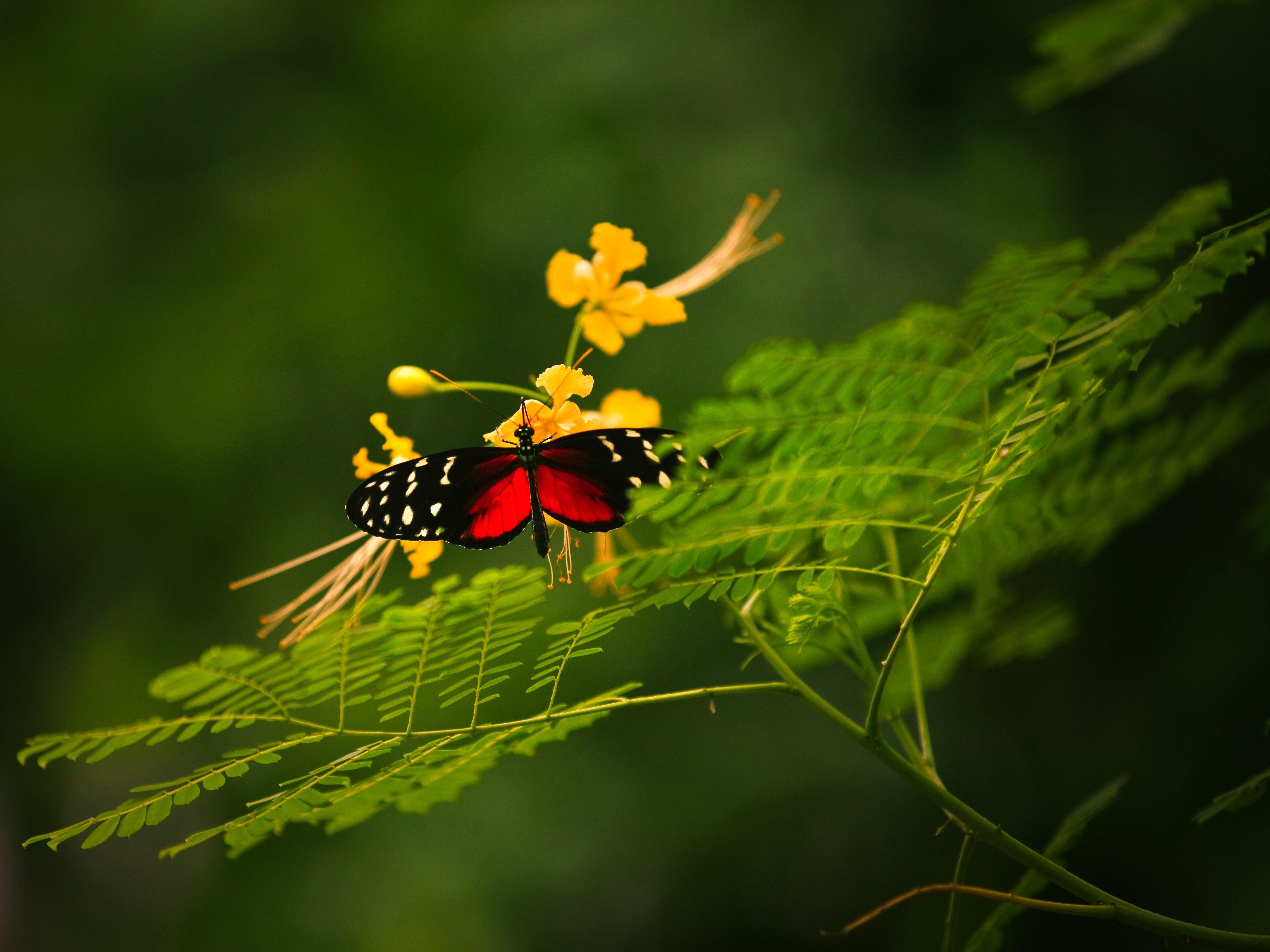 red and black butterfly hd wallpaper | ololoshenka | pinterest