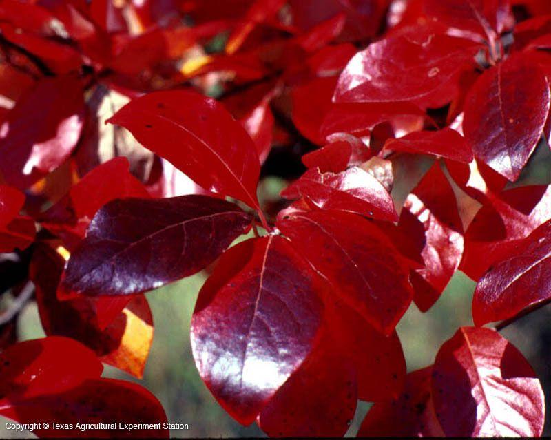 Black Gum Nyssa Sylvatica Plant Leaves Deciduous Trees Garden Center