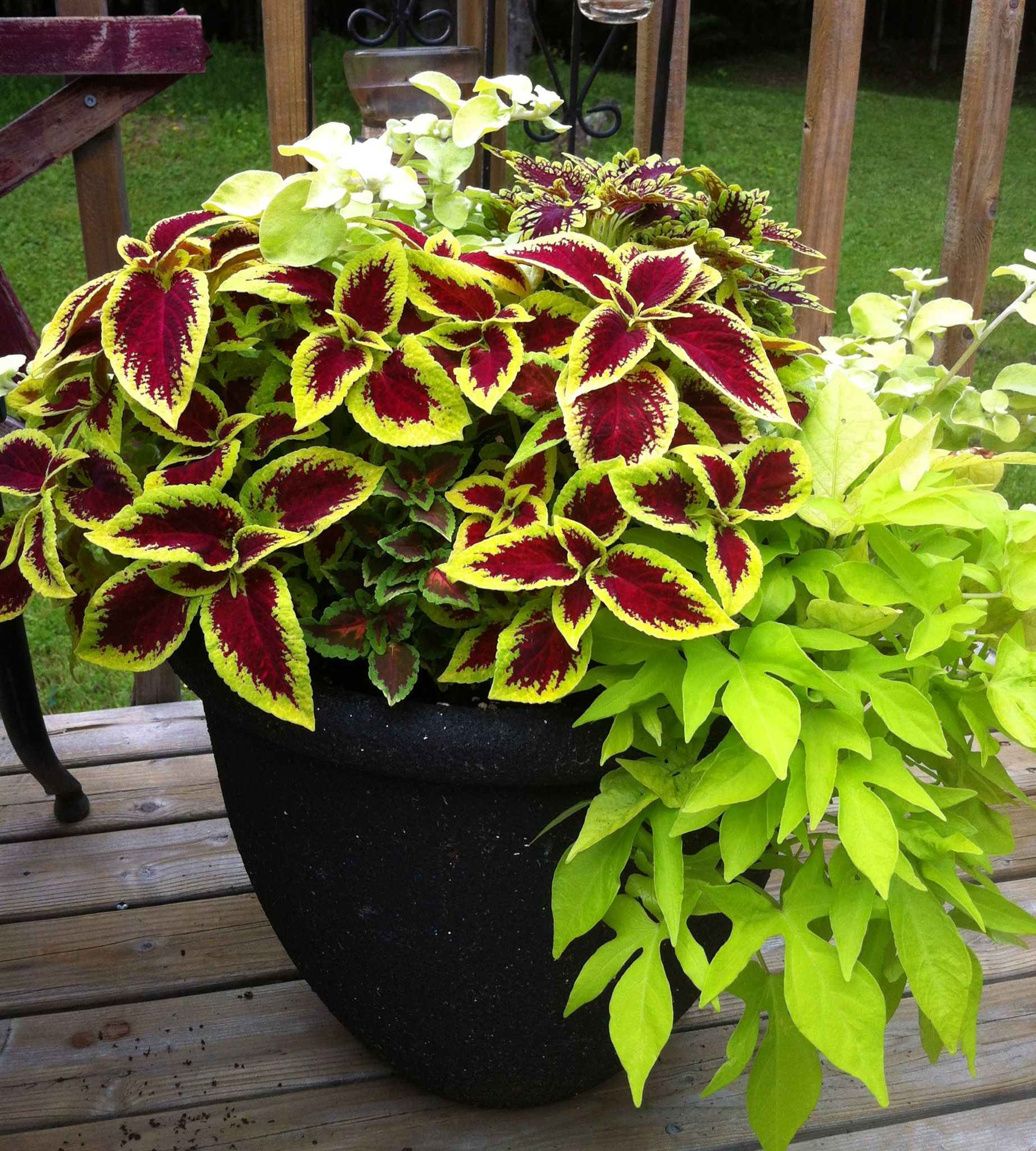 coleus and sweet potato vine my new addiction garden. Black Bedroom Furniture Sets. Home Design Ideas