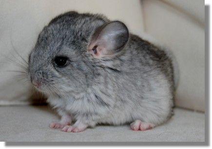 Cute Baby Chinchilla Chinchilla Pet Funny Animal Faces Baby Animals