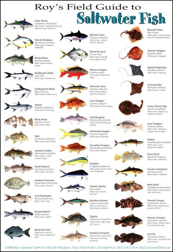 Saltwater fish fishing pinterest fish for Types of fish in the gulf of mexico