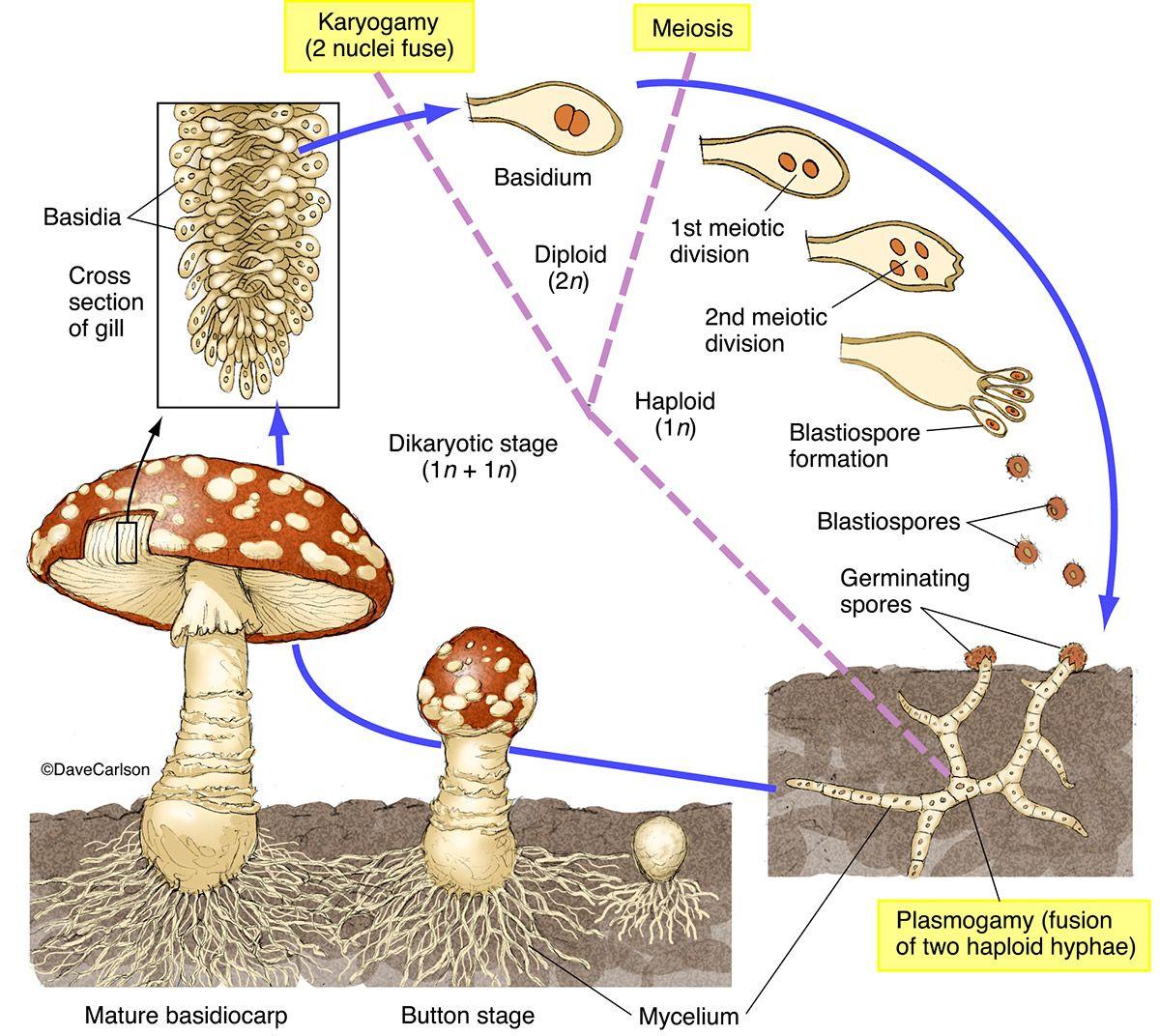 Mushroom Life Cycle 2 Photo Stuffed Mushrooms Life Science Plant Science