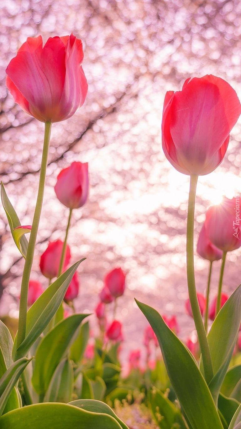 Czerwone Tulipany Tapeta Na Telefon Iphone Backgrounds Nature Tulips Pink Tulips