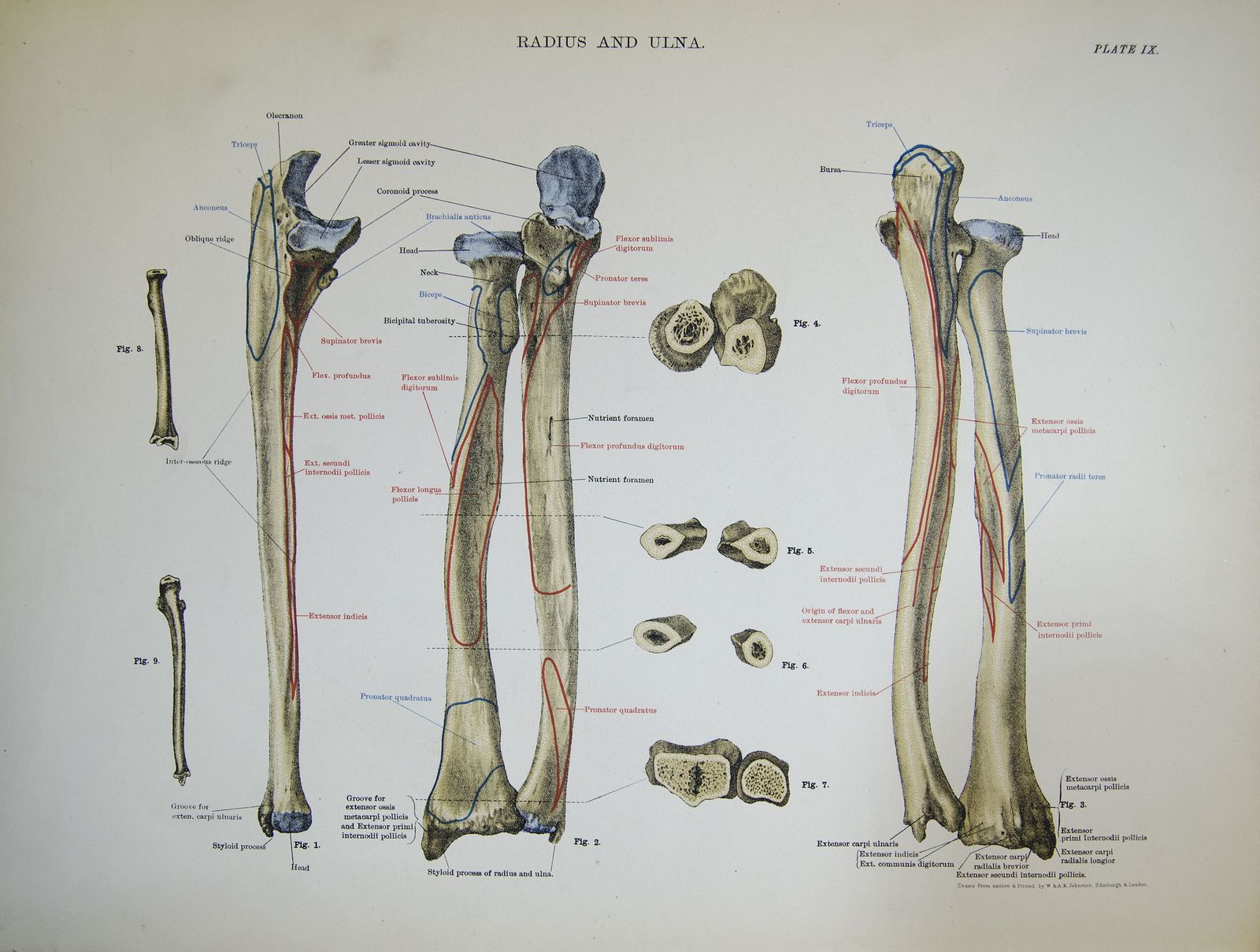 All sizes   Radius and ulna (right forearm)   Flickr - Photo Sharing ...