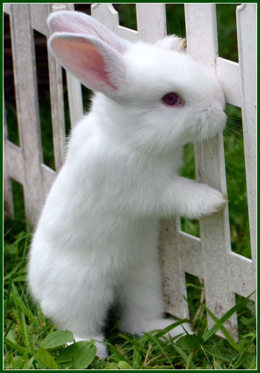 ღღ beautiful white bunny sooooooooo cute bunnies pinterest