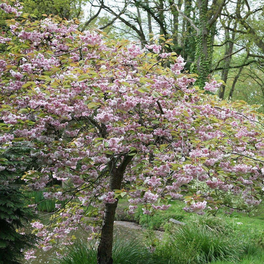 Prunus Kiku Shidare Zakura Cheal S Weeping Cherry Prunus Small Garden Small Gardens