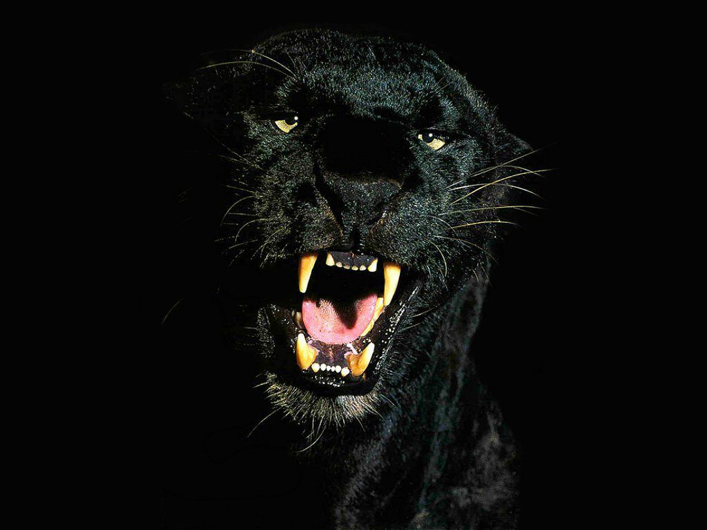 Black Tiger Pictures Black Tiger Animals Wallpapers Black Jaguar Wild Cats Animals Wild