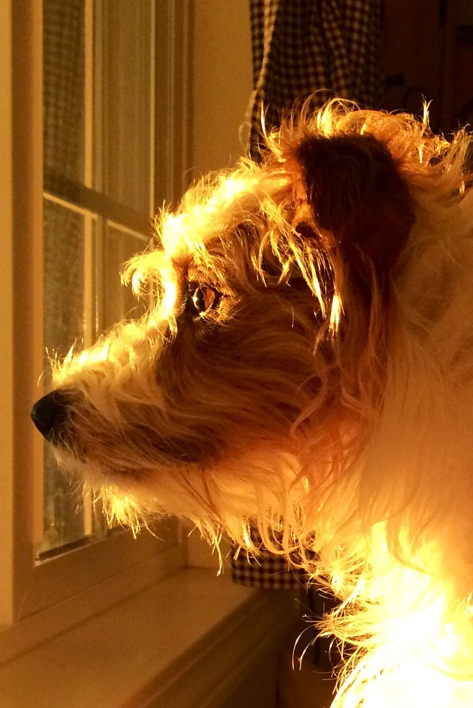 Daisy watching the sun go down! Jack russell