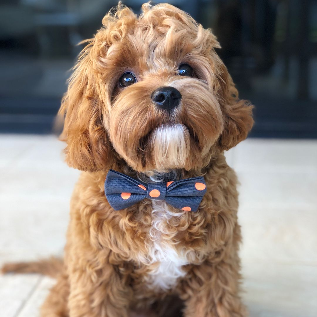 I M Dotty For My New Theminiwolfco Bow Tie Animals Cute