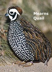 Image result for Mearns quail