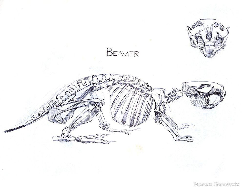 Beaver Skeleton by Marcus Gannuscio | Wonderfully weird | Pinterest ...
