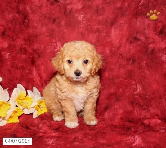 Mia Bichapoo Puppy For Sale In Newport Pa Puppies Puppies