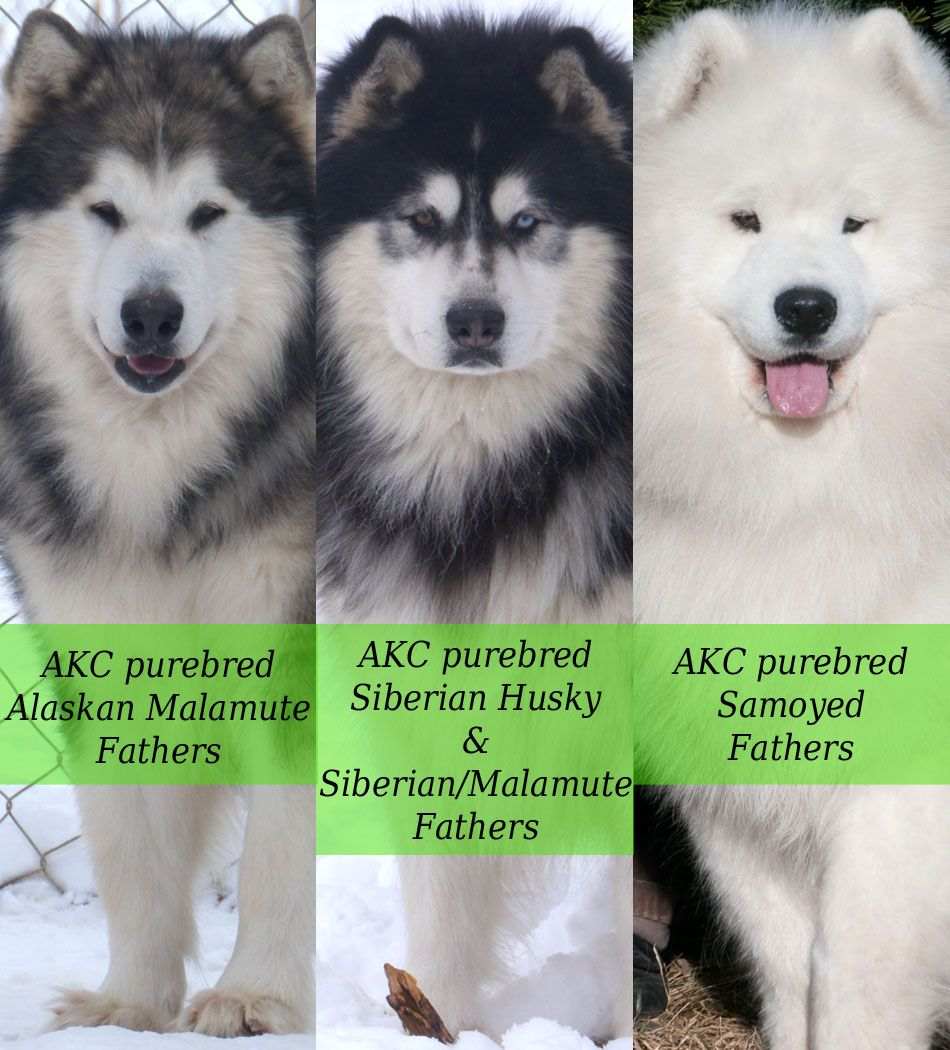 Pin By Wild Alaskan Crafts On Alaskan Malamute Alaskan Malamute
