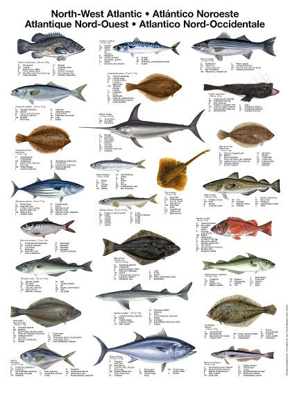 Mini posters fishing tips with fishbox pinterest fish saltwater fishing and fly fishing for Saltwater fish names