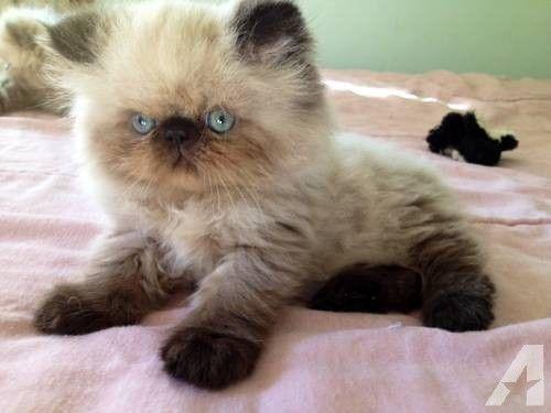 long haired tabby kitten