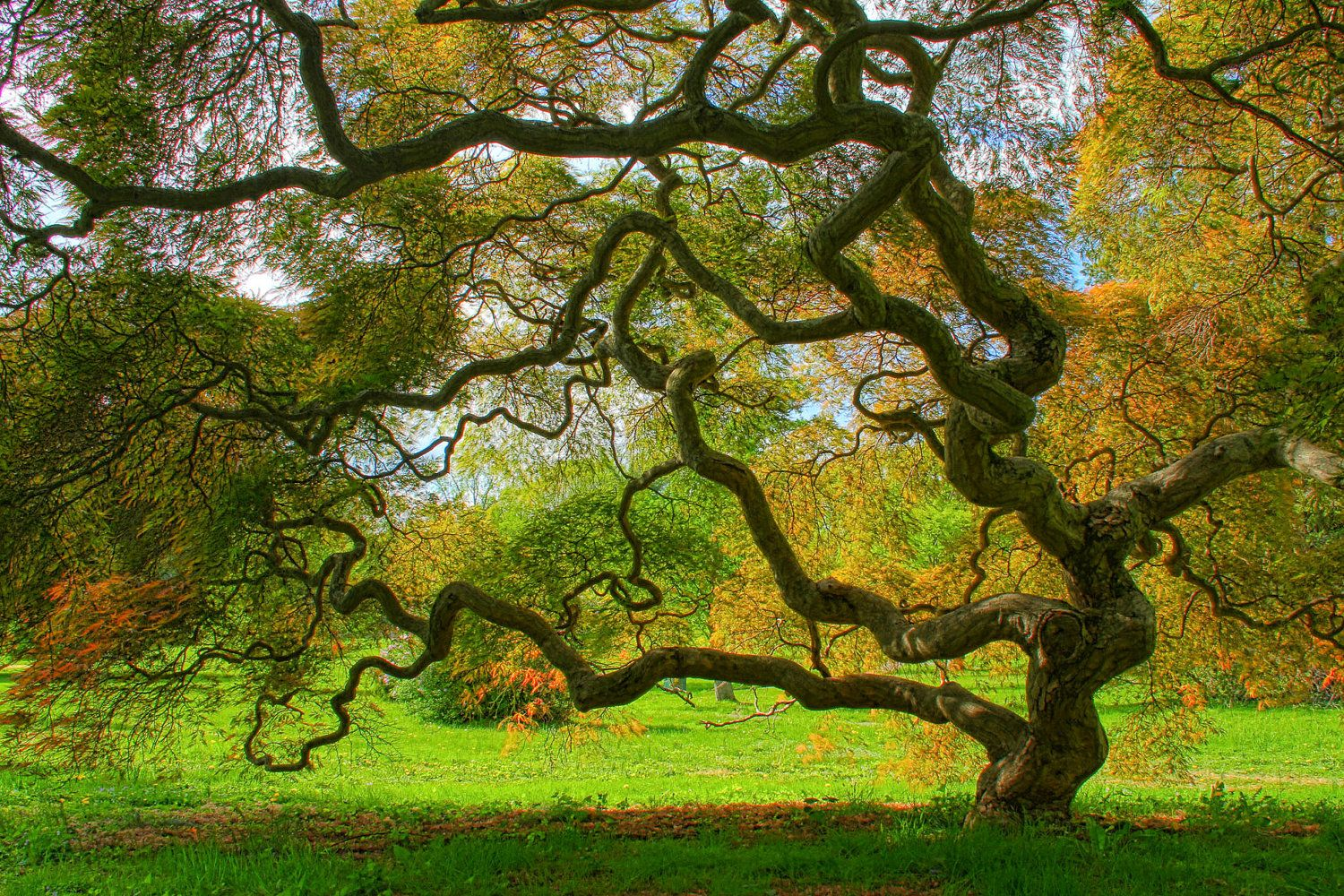 Japanese Maple Tree in Spring, Landscape Photograph, Green