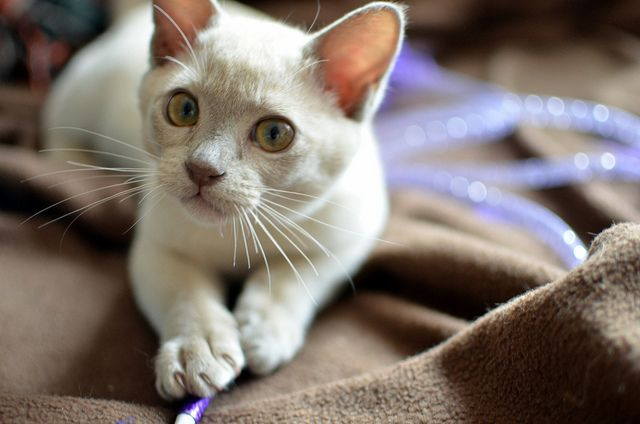 Alvin The Lilac Burmese Kitten Burmese Kittens Cat Breeds Burmese Cat