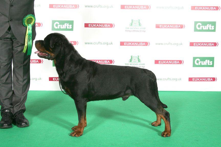 Rottweiler Ch Minaelea S Black Mambo Jw Crufts 2014 Dog Show