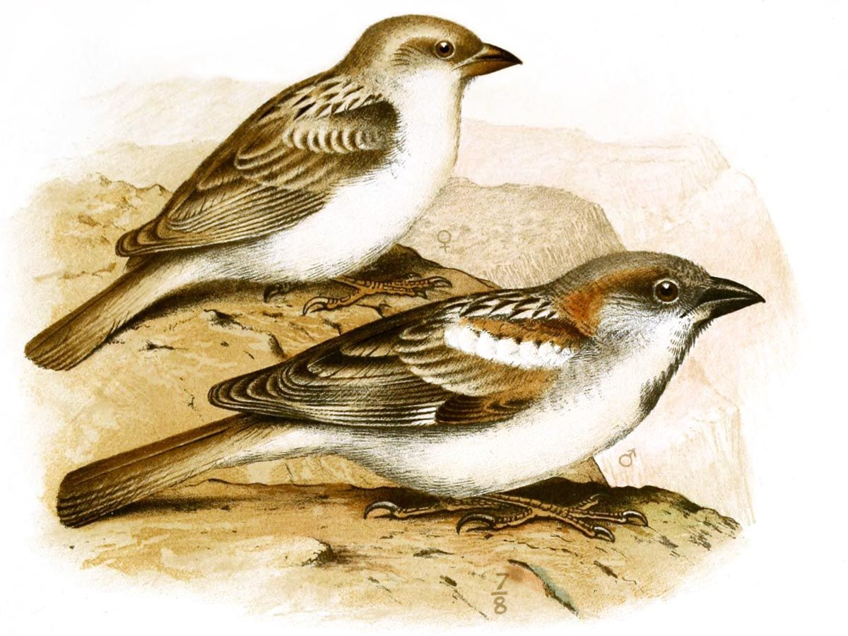 A study by Guy Kirwan showed significant differences from the Socotra sparrow…