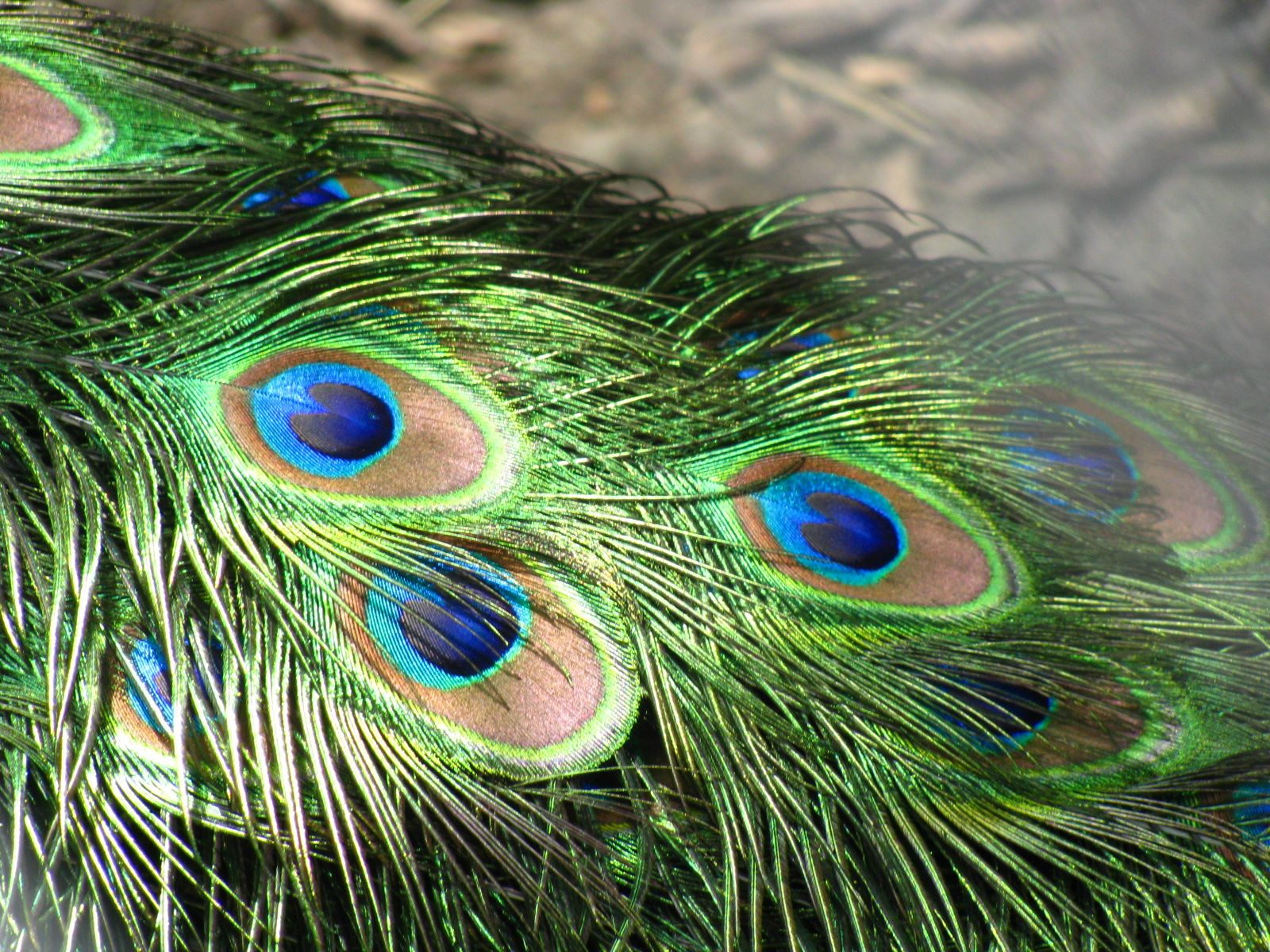 Peacock feather fabric shower curtain quot teal peacock feather quot green - Usa Seller All Natural Genuine Peacock Feathers 10 12 Inches Long W Large Eyes Wholesale By Elegantxboutique Usd