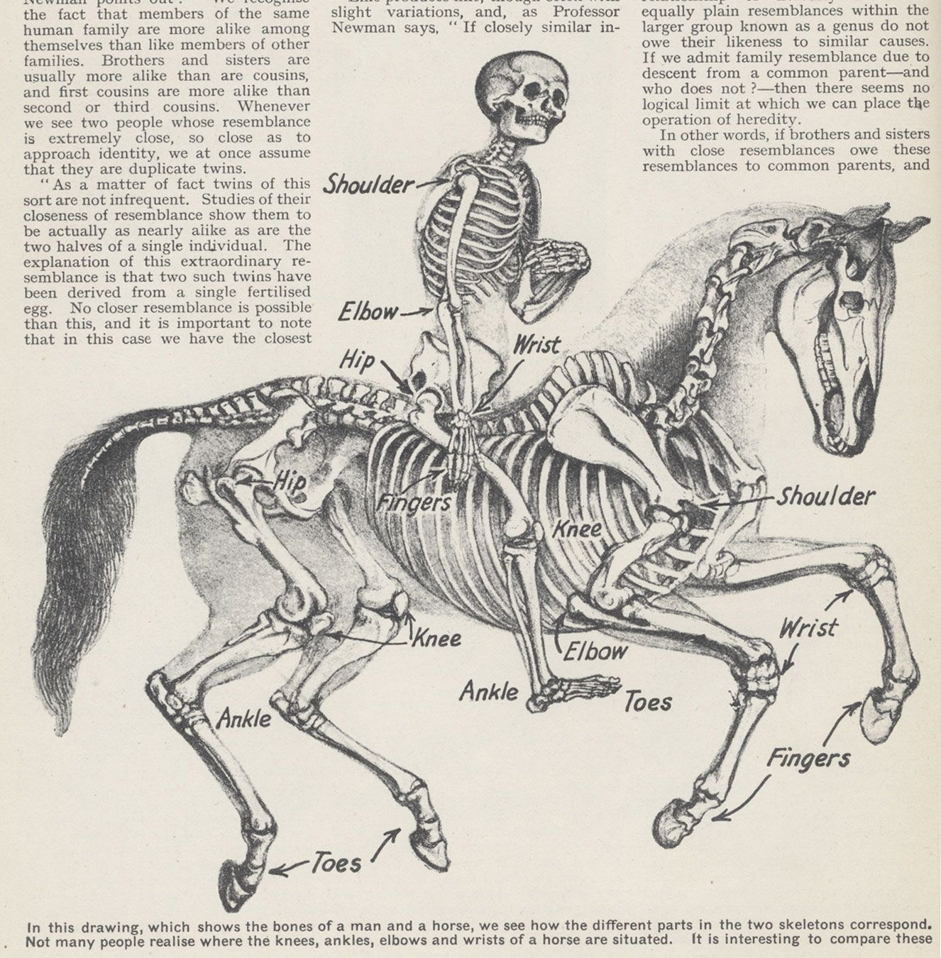 rider and horse skeleton. Maybe we evolved from horses. They seem to ...