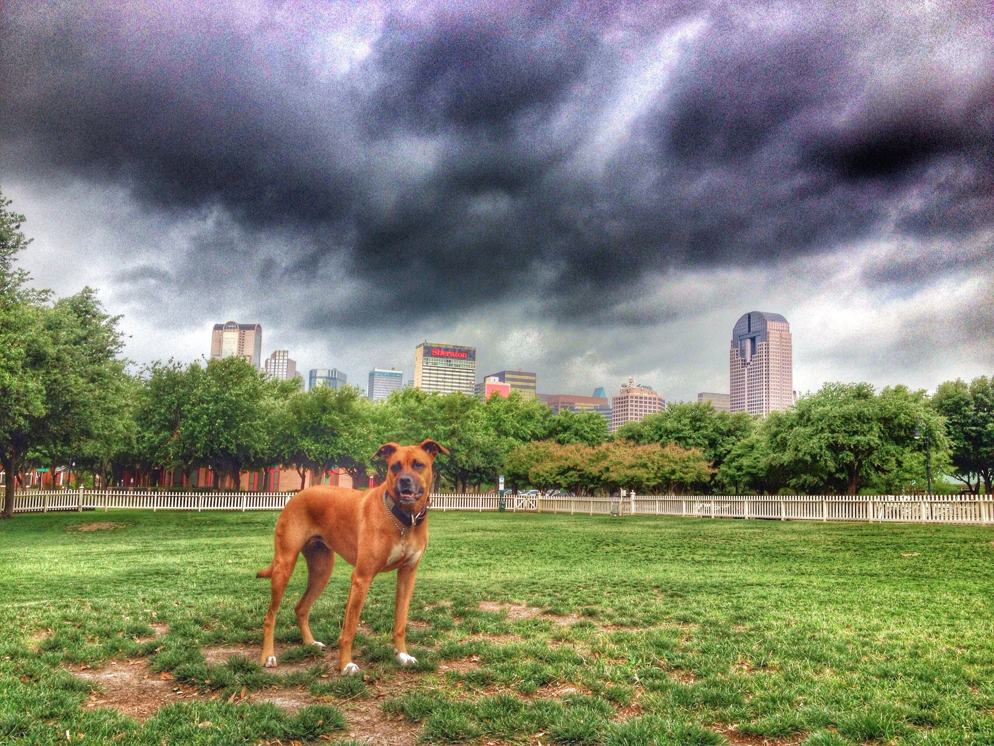 Dallas Texas Boxer dogs, Puppies, African