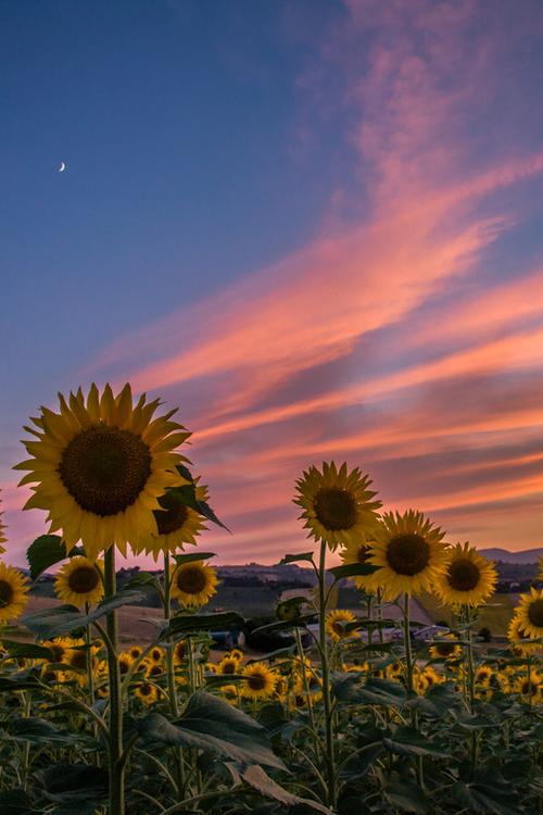 Have Sunset In Sunflower Mural Sfondi Girasoli Campi Di