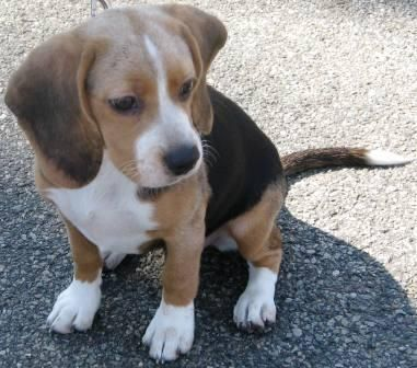 Beagle Basset Hound Mix Doggyspace Com M5x Eu Pitbull