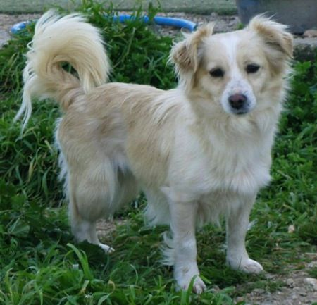 Small Greek Domestic Dog Wikipedia The Free Encyclopedia Hunderassen