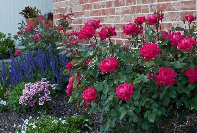Knockout Roses and May Night Salvia my storybook house would havehouse