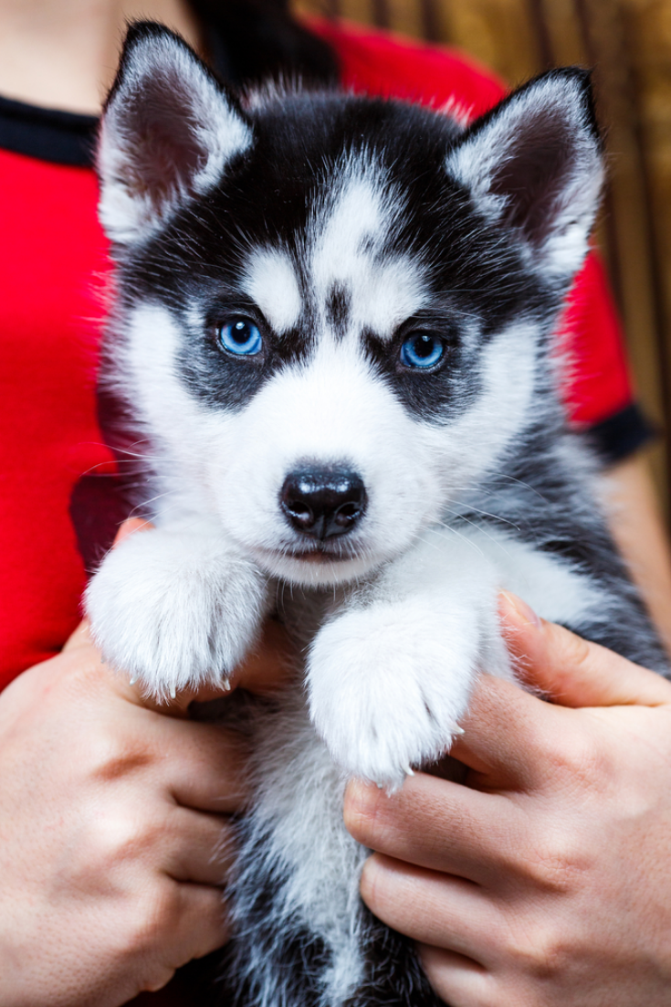 Siberian Husky Puppy With Blue Eyes Siberianhusky Husky Puppies For Sale Cute Husky Puppies Puppies With Blue Eyes