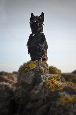 Angus (Owner John Alexander Whyte Scottish Terrier