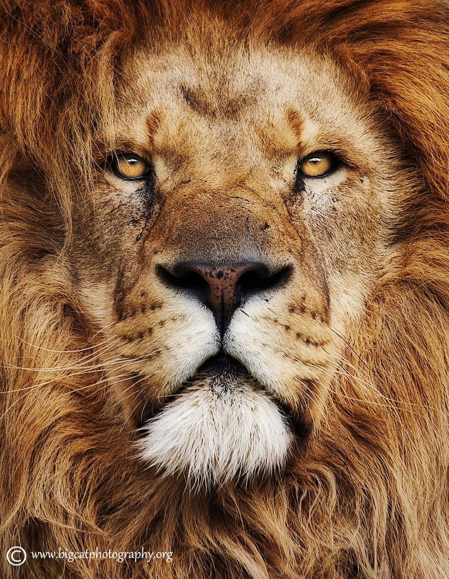 leadership and power in the lion What are you hunting and just like a lion on the savanna, you may or may not find it, but you hunt regardless 5 group members (part of a pride) + 6 loners in the big scheme of things the last two - being part of a group (that is, a pride) and also being somewhat loners in the big scheme of things - let's think about these together.