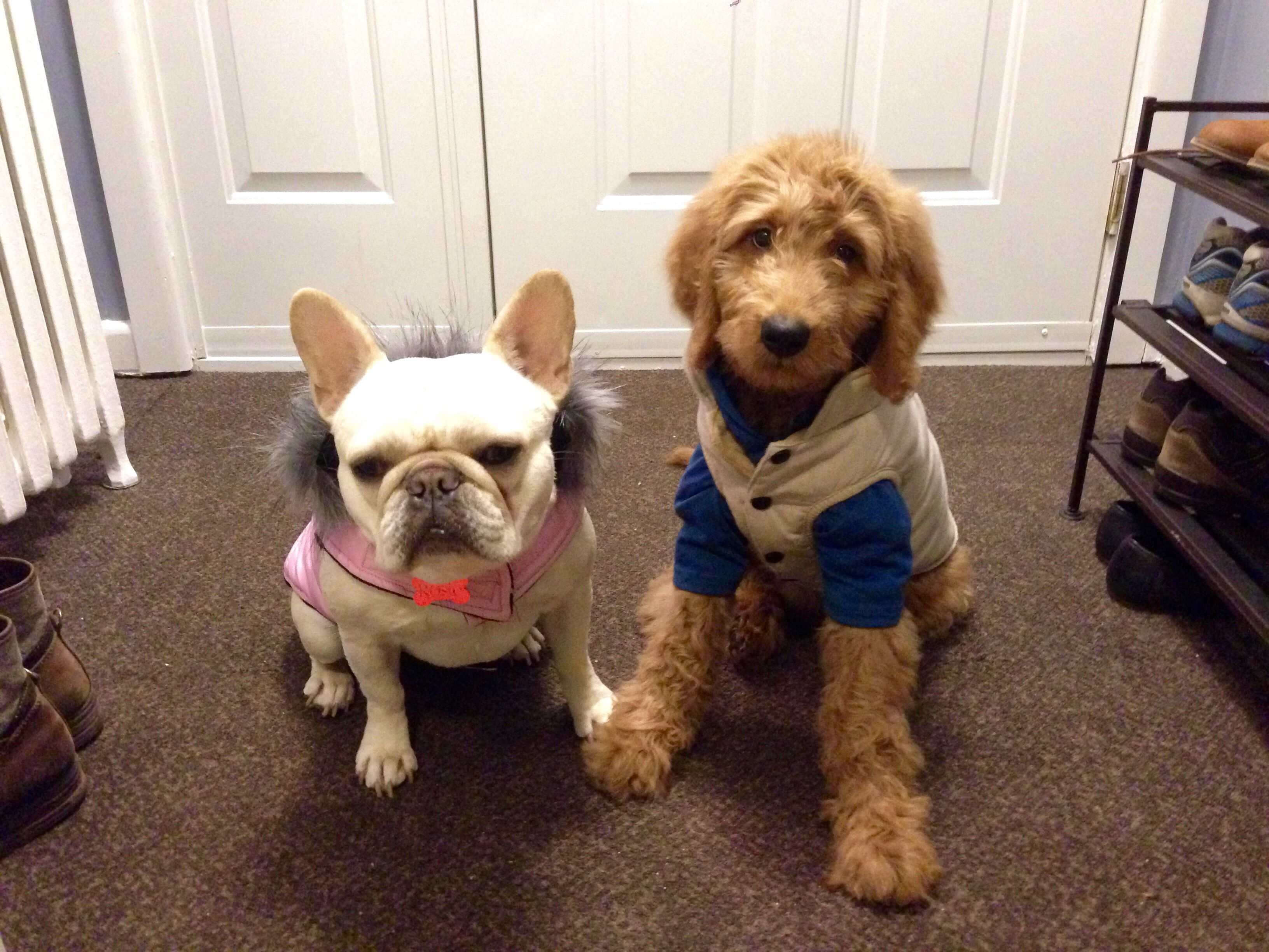 Hank The Goldendoodle Rosie The French Bulldog All Ready For The Snow Baby Puppies French Bulldog Fur Babies