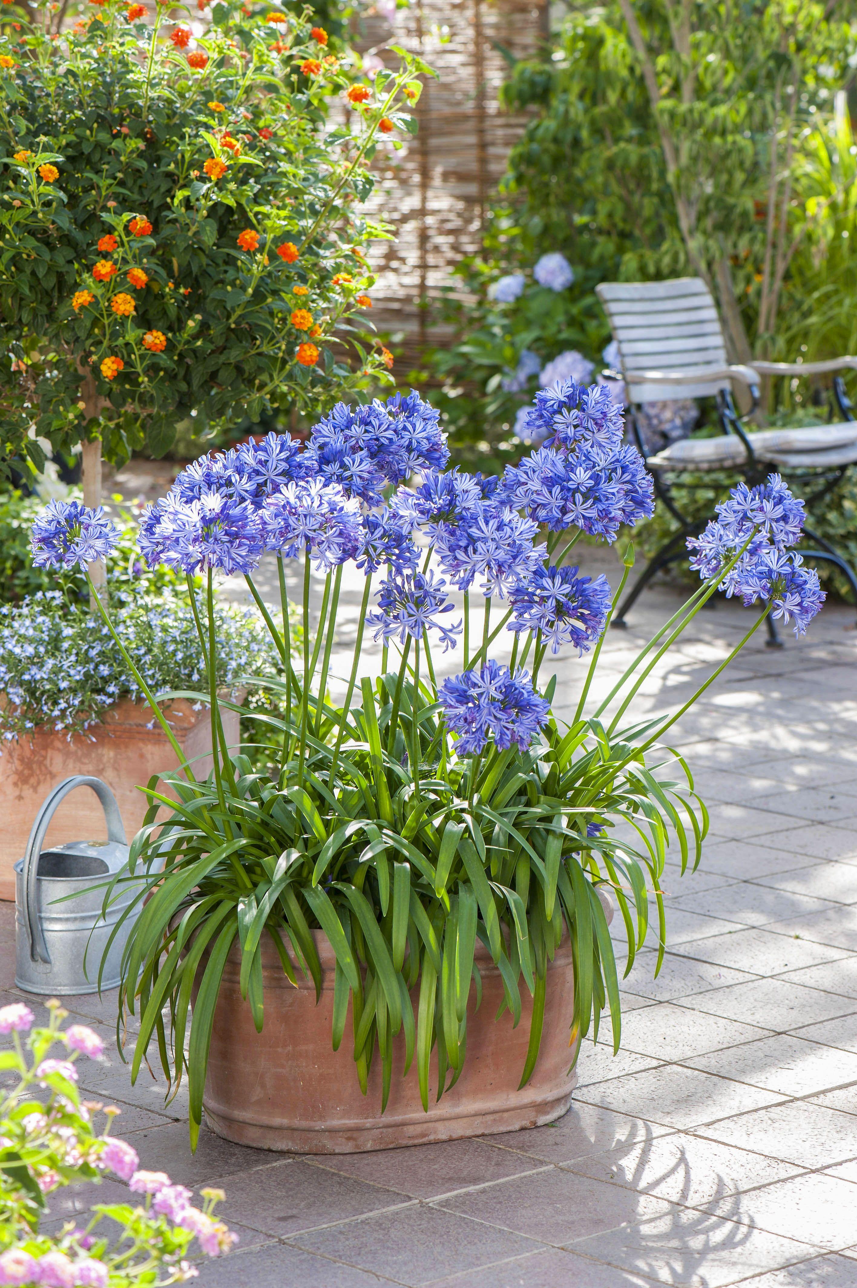 Les Agapanthes Superbes En Massifs Parterre De Fleurs Fleurs Terrasse Jardins