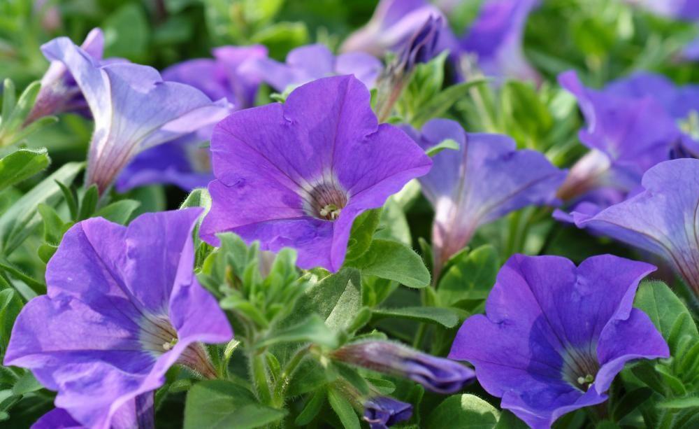 Petunien Selbst Aussaen Petunien Sommerblumen Und Blumen Pflanzen