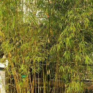 Ea Paisagismo Bambuzinho de Jardim De folhagem fina e coloração amarelo-limão, vai muito bem em renques e muros, dando um ar mais alegre ao jardim. Deve ser cultivado a pleno sol ou meia-sombra, com regas