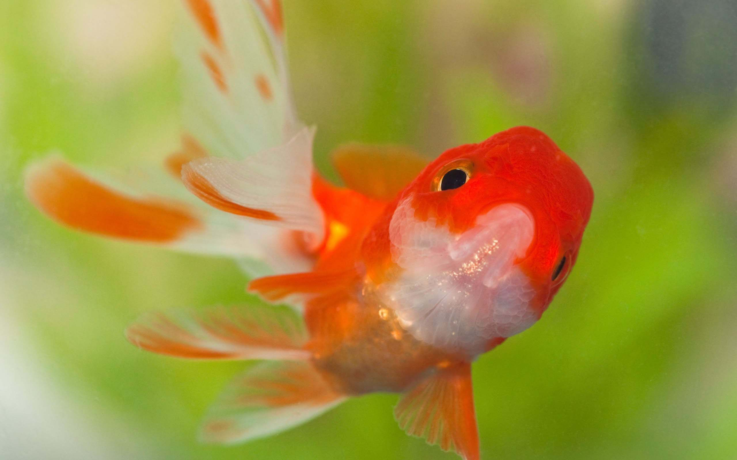 Beauty Of Goldfish Hd 1080p Youtube Hd 1080p