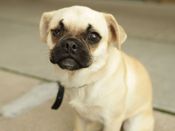 Madeline Is A Lonely Little Pug From A Puppy Mill Her Left Eye