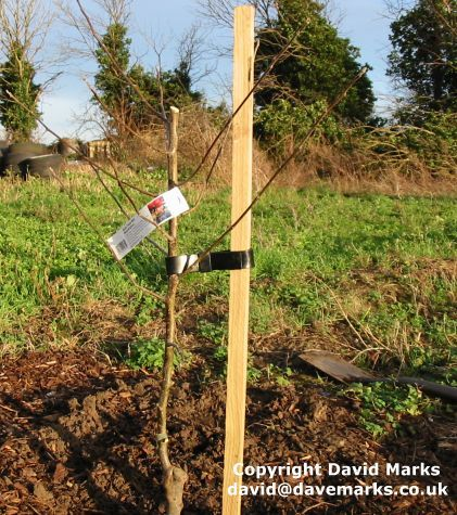 How To Stake And Tie An Apple Tree With Images Apple Tree