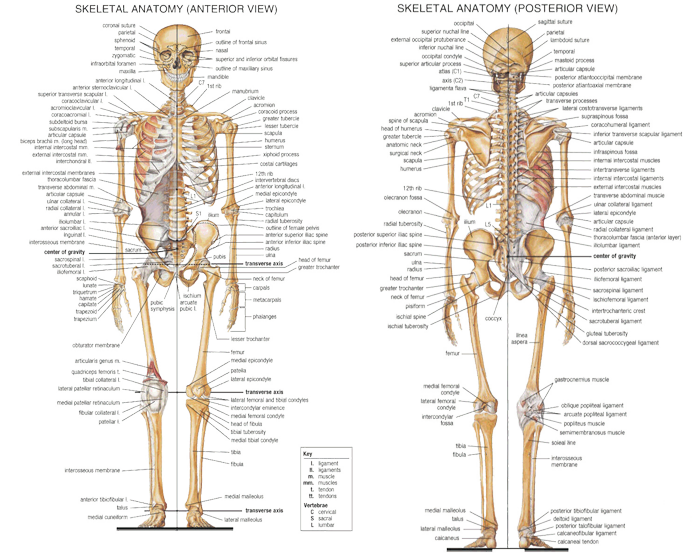 Anatomy Axial Skeleton Anterior And Posterior Views Cpt