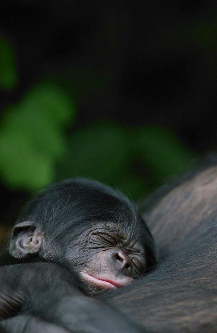 Photo of Bonobo: une espèce méconnue et menacée