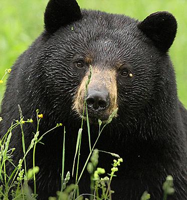Basic Facts About Black Bears Black Bear Bear Bear Species