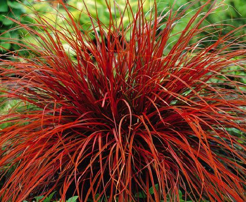 Tall perennial grasses zone 3 image results for Tall red ornamental grass