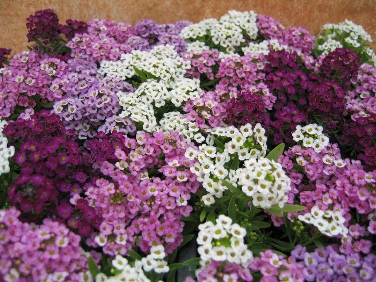 blumen für die sonne alyssum-lila-weiss-garten | Pflanzen | Pinterest