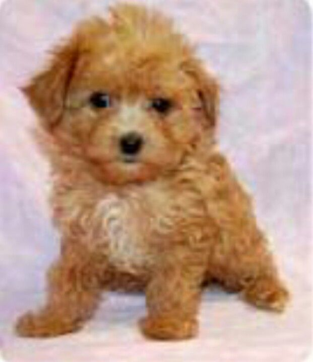 Red Maltipoo Tiny Toy Pup Adorrrrrable Maltipoo Dog Cute Dogs